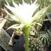DSC06596Echinopsis obrepanda