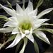 DSC06597Echinopsis obrepanda
