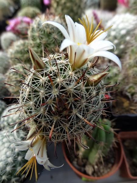 DSC06627Mammillaria hutchisoniana ssp. louisae