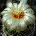 DSC06640Thelocactus setispinus var. setaceus