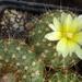 DSC06641Frailea chrysacantha