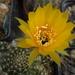 DSC06643Lobivia arachnacantha