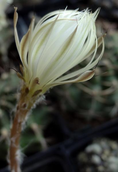DSC06656Setiechinopsis mirabilis