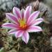 DSC06672Mammillaria blossfeldiana