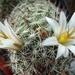 DSC06676Mammillaria hutchisoniana ssp. louisae