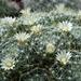 DSC06681Mammillaria crinita ssp. wildii
