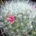 DSC06685Mammillaria bocasana v. roseiflora