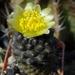 DSC06741Copiapoa tenuissima x hypogea