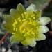 DSC06742Copiapoa tenuissima x hypogea