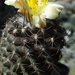 DSC06757Copiapoa tenuissima x hypogea