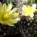 DSC06756Copiapoa tenuissima x hypogea