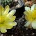 DSC06759Copiapoa tenuissima x hypogea