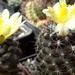 DSC06758Copiapoa tenuissima x hypogea