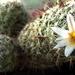 DSC06768Mammillaria hutchisoniana ssp. louisae