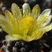 DSC06775Copiapoa tenuissima x hypogea