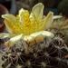 DSC06776Copiapoa tenuissima x hypogea