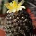DSC_0062Copiapoa tenuissima x hypogea