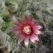 DSC06816Mammillaria bocasana v. roseiflora