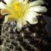 DSC06819Copiapoa tenuissima x hypogea
