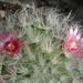 DSC06890Mammillaria bocasana v. roseiflora