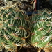 DSC02060Matucana aureiflora