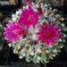 DSC02434Mammillaria polythele cv. Toluca