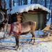 scp_reindeer