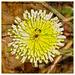20110519_IGP2070_Witgele bloem met vlieg_copy 4_canvas copy
