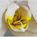 20130224_IGP0737_Witte orchideeën 2-72