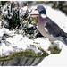 20150124_IGP3548_Dilbeek_Houtduif in de sneeuw_72