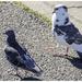 20180502_IGP9879_Valras Plage_Kebberr en duivin op wandel_72