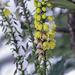20190123_DSC00573_Dilbeek_Eerste gele bloemen onder de sneeuw_72