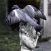 20190102_IGP7911_Dilbeek_Duif met open vleugels_72