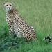 Poserende Cheeta