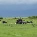 Buffel siesta