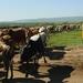 Masai herderinnetje