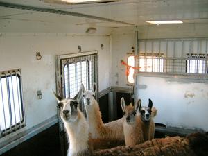4 Lama's