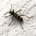 kleine wespenbok--