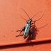 fraaie schijnbok -- oedemera nobilis - ± 1 cm-800
