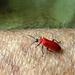 zwartkop vuurkever--pyrochroa coccinea-800