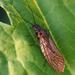 de elzenvlieg - megaloptera