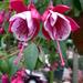 Fuchsia Roese Eslly