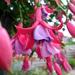 Fuchsia kristel tans.