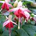 Fuchsia Tjip.