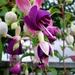 Fuchsia Viollet koningin.
