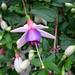 Fuchsia La campanella.