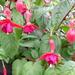 Fuchsia moe Katelijne.