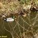 2009_03_01 Hulsonniaux 16 wilde eenden
