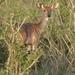 Mevrouw Kudu