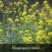 Koolzaad in bloei
